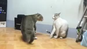 دعوای دو تا گربه