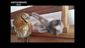 بازی گربه و جغد