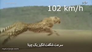 سرعت شگفتانگیز یک چیتا
