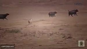 تاثیر گذارترین کلیپ برگزیده ی ۲۰۱۵ همه ی بوفالوها از دست گروه شیر ها فرار میکنن بجز مادر..