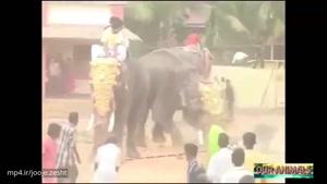 فیل های خشمگین دیوانه