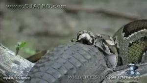 تصاویر بی نظیر از شکار تمساح توسط مار پیتون
