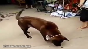 سگ رقاص فقط ندیده بودیم😄😄