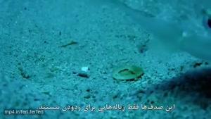 ماهی بادکنکی کوچک بزرگترین هنرمنددرطبیعت برای جلب توجه جفت ماده،با باله های خودساختارهندسی خلق میکند