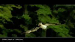 شیرجه عقاب برای شکار آبزیان!