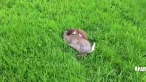 کشتن عجیب خرگوش توسط راسوی وحشی