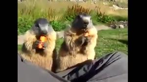 پفک خوردن سنجاب ها