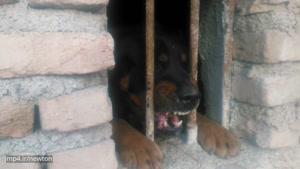 سگ. وحشی ادم خوار در نظراباد