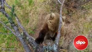 حرکت جالب خرس گریزلی برای تعیین قلمرو 😜 😋