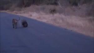 شکار جوجه تیغی توسط پلنگ