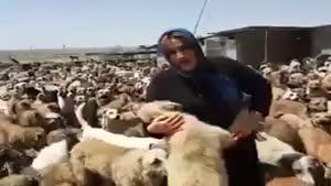 پناه دادن یک زن مهربون به انبوهی از سگ ها