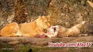 حقیقت های جالب درباره شیرها که حنما نمیدانید