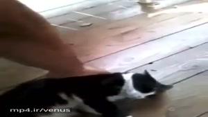 گربه تنبل شمال. چیکارش داری بذار بخوابه مردم آزار