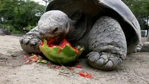 هندوانه خوردن لاکپشت