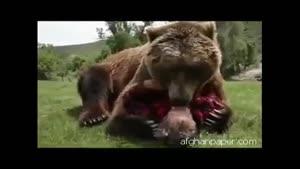 دوستی بسیار زیبا انسان با خرس