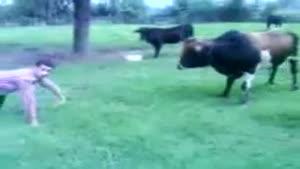 فرار گاو از دست انسان