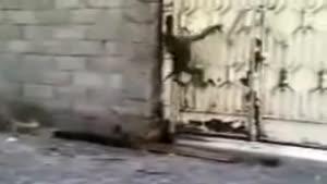 میمون بازیگوشی که مرغه همسایه رو میدزده