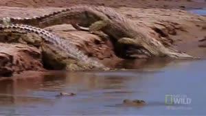 تمساح قاتل بالفطره