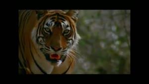 شکار اهو توسط ببر