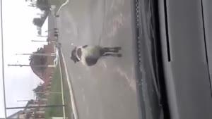 گوسفنده چه رقصی می کنه
