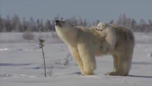 خرس قطبی مهربان