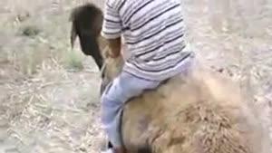 سواركاری حرفه اي با گوسفند