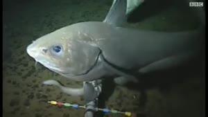 ماهی در عمق ۸ کیلومتری اقیانوس آرام
