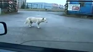 سگ رقاص