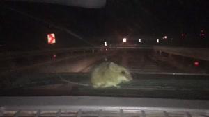 حمله موش ها در ماشین ..تهران