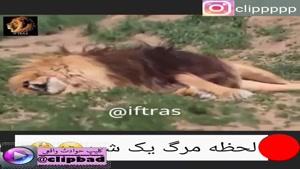 تاکنون لحظه مرگ سلطان جنگ با اوبوهت ترین حیوان روی کره ی زمین ینی شیر را دیده اید؟
