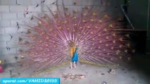 طاووس با پرهای صورتی