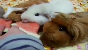 هندونه خوردن همسترهای کوچولو