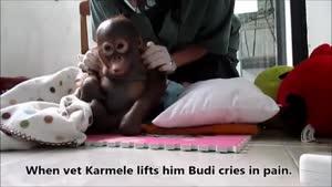بودی نوزاد گوریلی که از درد گریه میکند