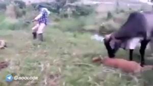 حمله کردن گاو به ماری که گوساله اش را نیش زده