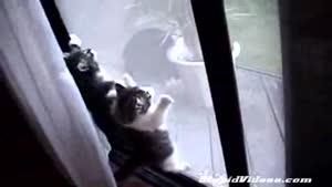 گربه های عنکبوتی