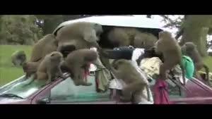 غارت ماشین توسط میمون ها