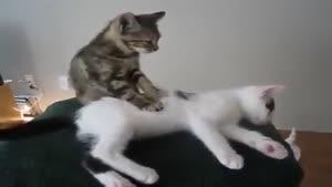 ماساژ گربه ای
