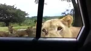 وقتی ببر در ماشینو باز میکنه....