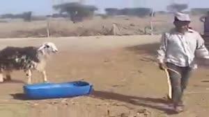 آخر عاقبت اذیت کردن گوسفند