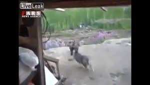 دعوای خرس قهوه ای با سگ