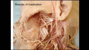 آناتومی عضلات فوقانی صورت