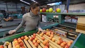 روش صحیح پرورش درخت سیب