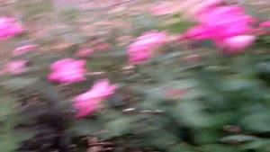 کاشت و نگهداری گل رز