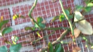 آموزش باغبانى با صابر - نحوه نگهدارى گل رز بالا رونده