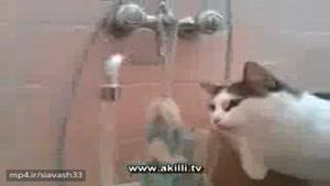 این گربه از شیر آب می خوره !