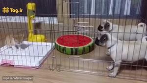 توله های ترسو از بچه گربه میترسند
