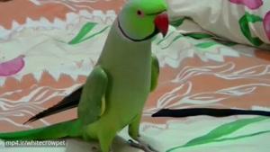 سخنگویی طوطی ملنگو
