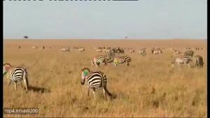 مستند حیات وحش بسیار زیبای کنیا در افریقا