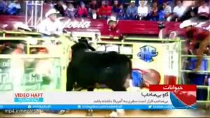 خطرناکترین گاو جهان