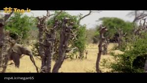 حمله فیل ماده به شیرها برای حفظ جان بچهاش
